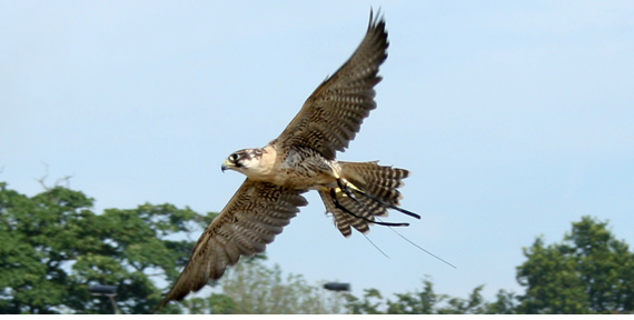 ridgeway-falconry-01